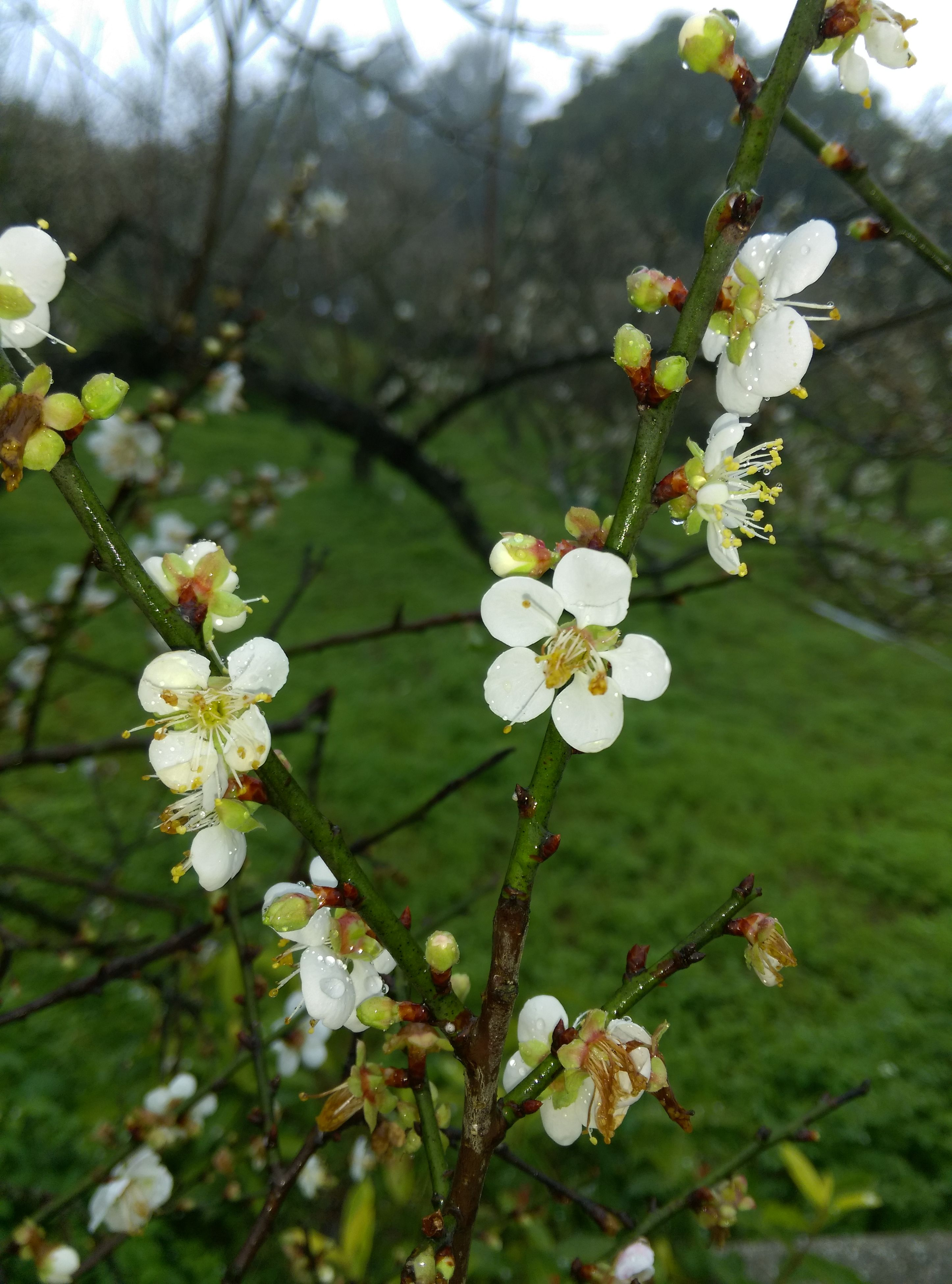 flower, freshness, branch, growth, fragility, tree, white color, beauty in nature, petal, blossom, nature, focus on foreground, blooming, twig, close-up, in bloom, flower head, apple tree, cherry blossom, springtime