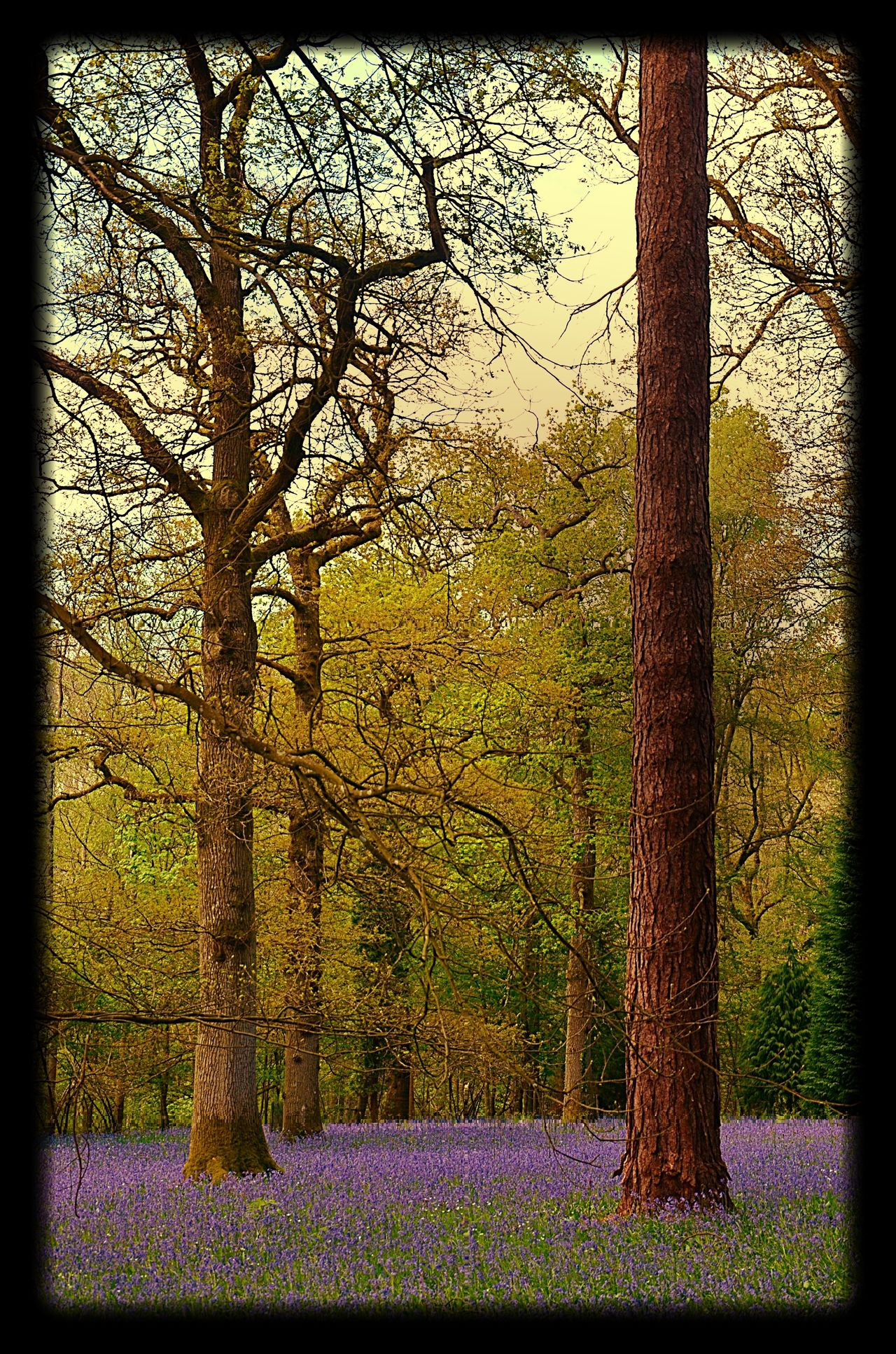 Beauty In Nature Bluebell Wood Flowers Flowers, Nature And Beauty Flowers,Plants & Garden Nature No People Outdoors Purple Tranquility Tree