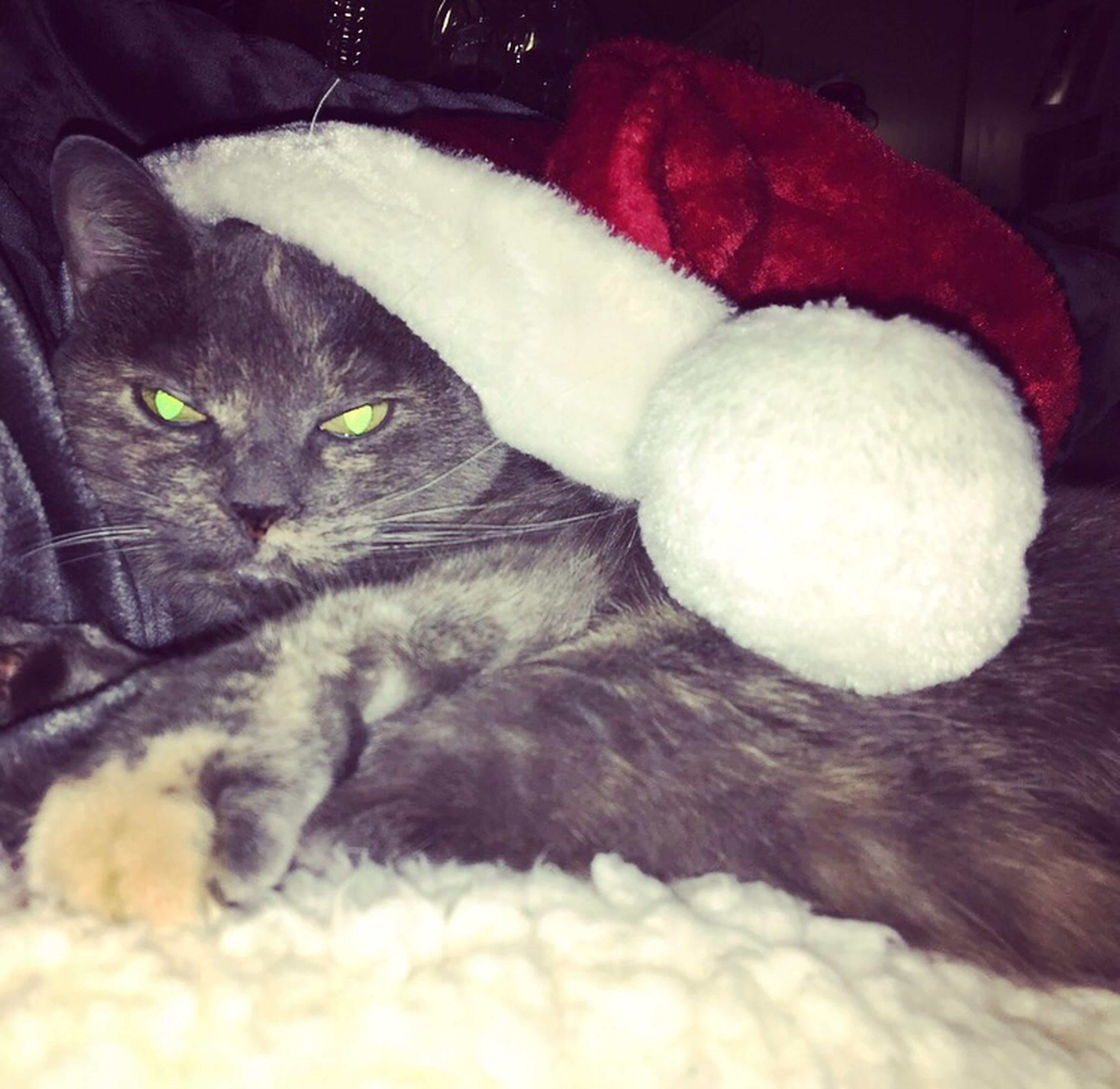 MerryChristmas Merrychristmasyafilthyanimal Kitty