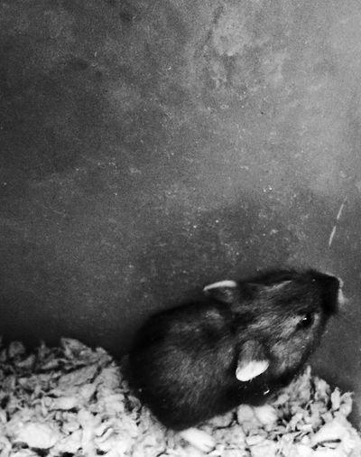 Hamster Hamsters Hamster Love Hamster ♡ Black And White Black & White Black And White Photography Black&white Blackandwhite