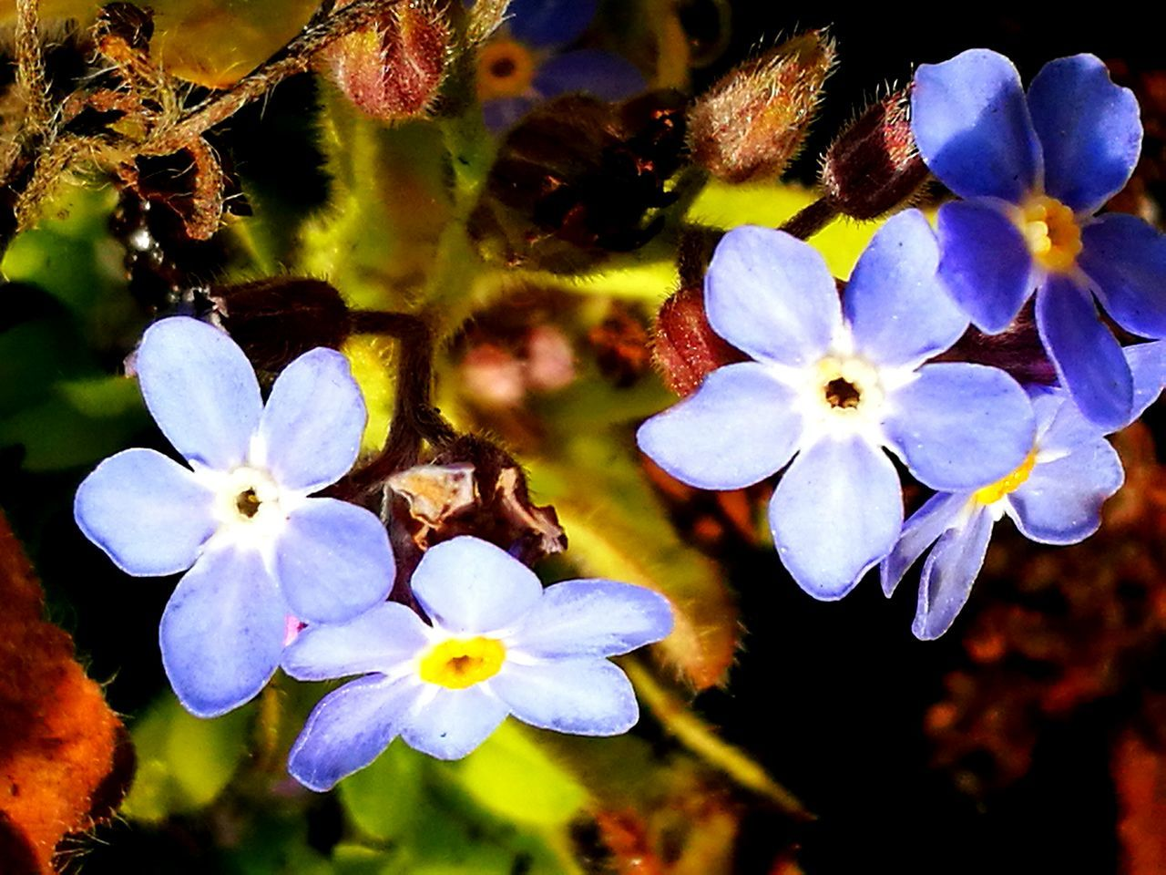 Forget Me Not Nature Flower Beauty In Nature Fragility Growth Freshness Close-up No People Petal Flower Head Plant Outdoors Day