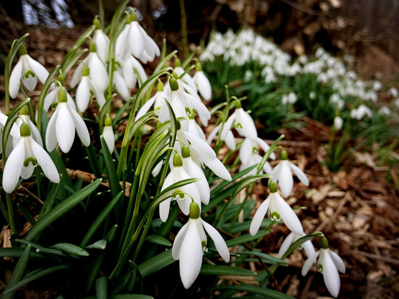 flower, white color, nature, petal, beauty in nature, snowdrop, growth, fragility, freshness, plant, flower head, blooming, outdoors, day, no people, close-up