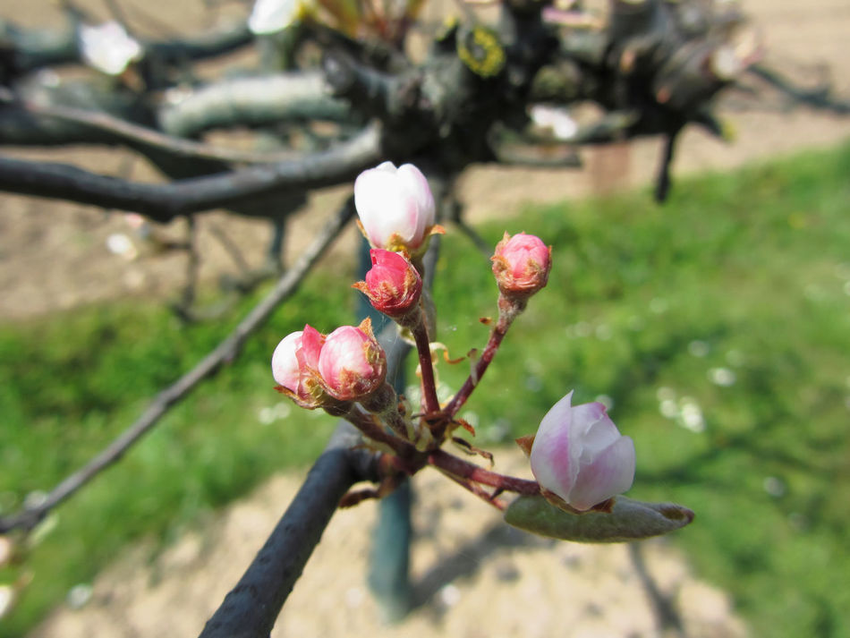 Apple flower closed buds in spring . Tuscany, Italy Apple Flowers Apple Tree Bloom Blooming Blossom Blossoming  Blossoming Tree Branch Bud Buds Day Flora Floral Fruit Garden Green Growth Italy New Life Orchard Pink Plant Season  Springtime Tuscany