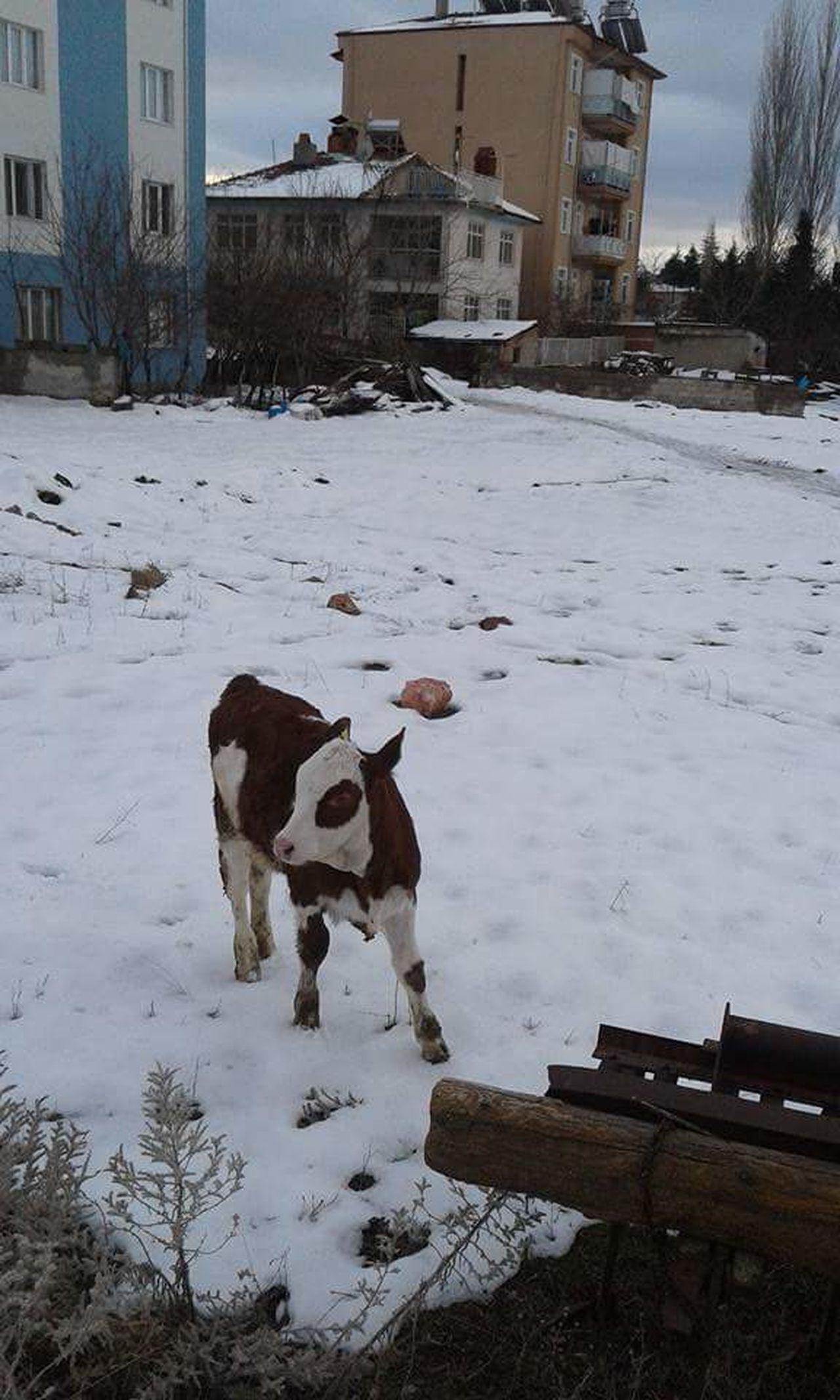 Animal One Animal Animal Themes Domestic Animals Snow Gununkaresi Kütahyalı Hello World First Eyem Photo Turkey Kütahya Sogukhavaa ❄️❄️ Animals In The Wild Turkey💕 Emet
