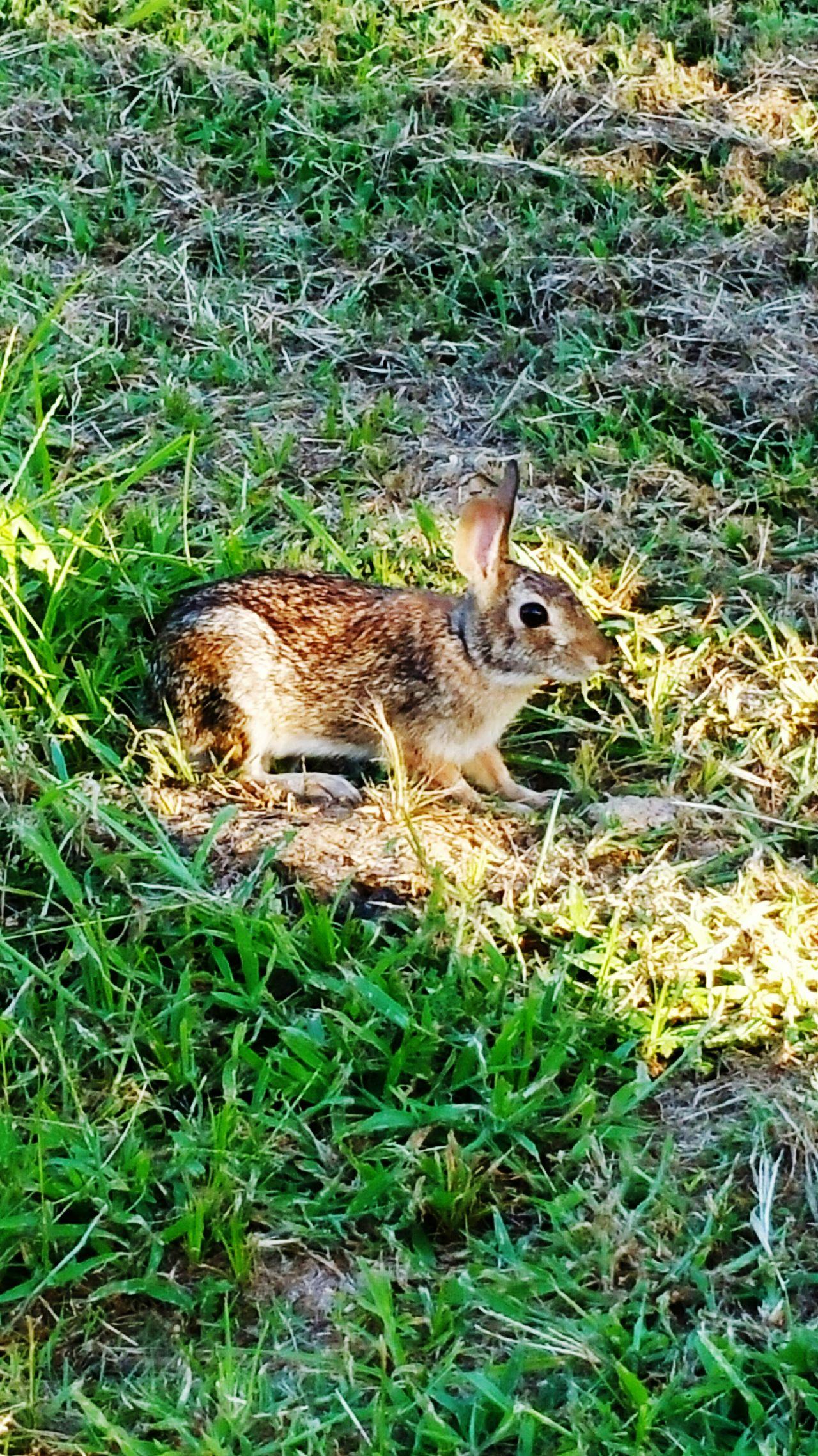 Nature On Your Doorstep Urban Wildlife Cottontail Rabbits My Backyard