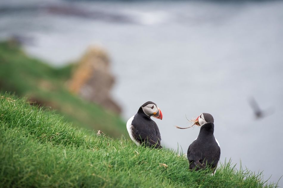 Animal Themes Animal Wildlife Animals In The Wild Bird Day Faroe Islands Grass Island Island Life Nature No People Outdoors Puffin Puffin Island Togetherness
