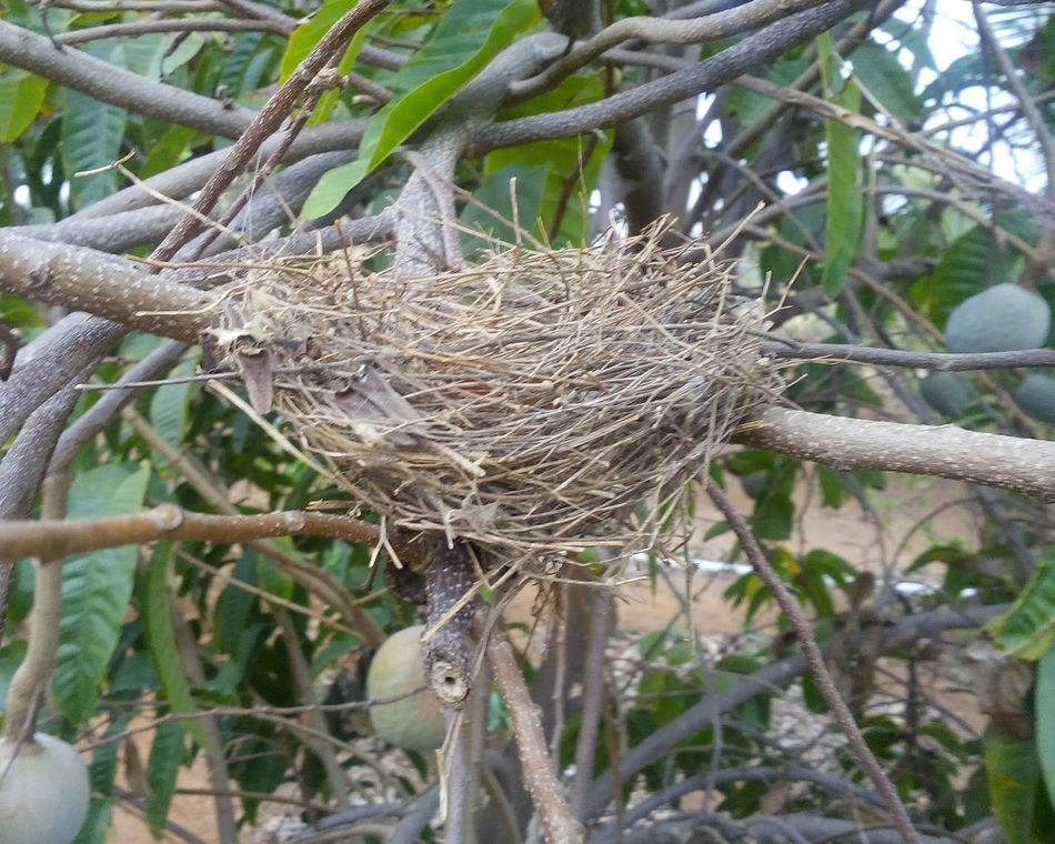Nest Birds Nest Birds Lover At Farm Global Photographer Works Exhibition Global Photographer- Collection Smartphonegraphy Love To Take Photos ❤ Beautiful ♥ Enjoying Life EyeEm Gallery Eyemphotography Showcase March I LOVE PHOTOGRAPHY EyeEmbestshots EyeEm Nature Lover Global Photographers Alliance Have A Nice Evening ♡ Be Thankful To All Beautiful Friends Love U All From India With Love... .. urs .. Nitin ..