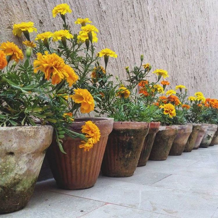 I've been really busy lately so I haven't been taking many pictures (I'm not at that level of multitasking yet), so here's an old shot of Marigolds right before they were planted. Our Garden is my mother's pride and joy; every shrub, tree, and flower in it, she chooses and plants and maintains herself. She says it brings her a sense of belonging and doing and peace. Pottedplants Orange Yellow Flowers Cameraphone Flowerstagram