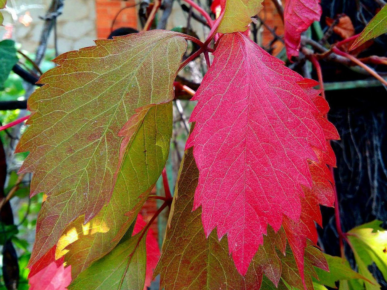 leaf, autumn, change, growth, day, close-up, nature, beauty in nature, outdoors, focus on foreground, fragility, maple leaf, no people, plant, branch, freshness, flower, maple, flower head