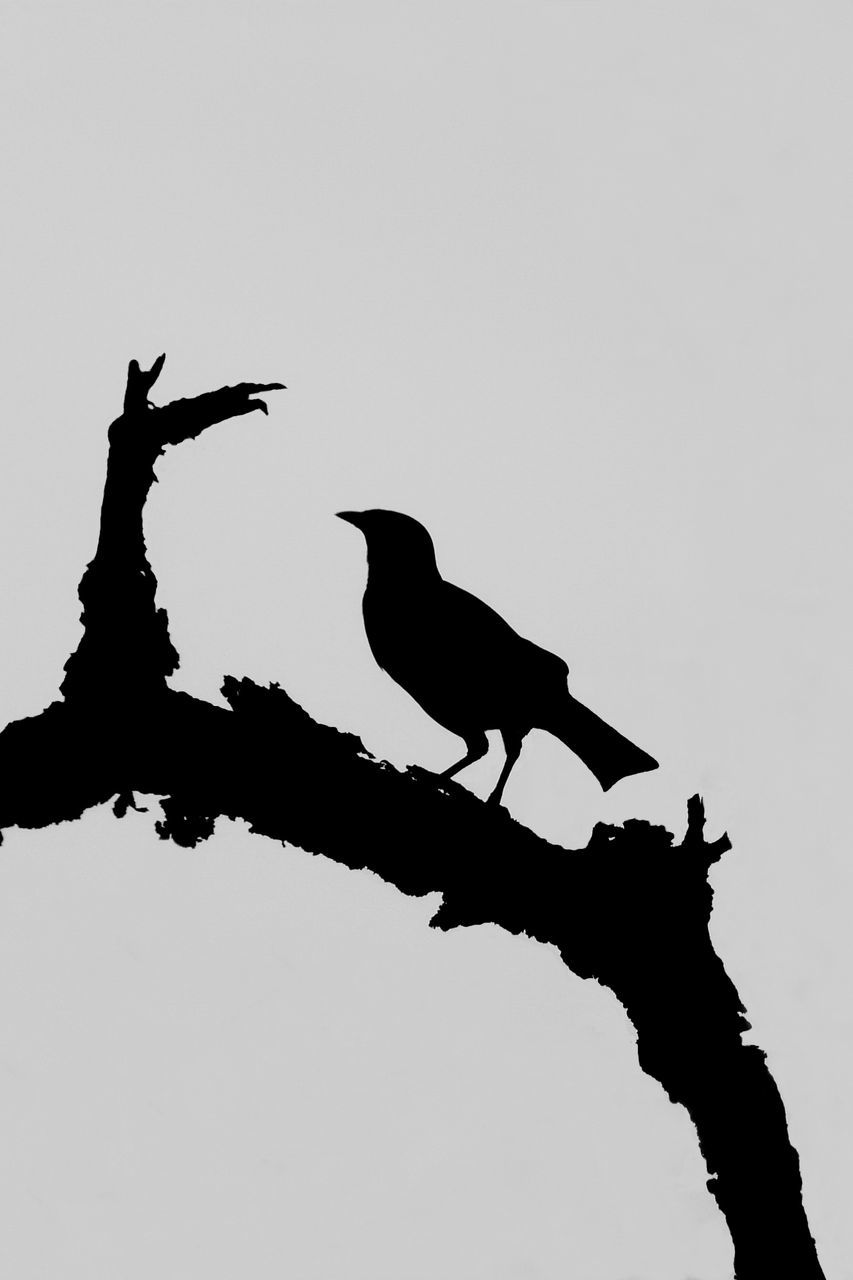 Low Angle View Of Silhouette Bird Perching On Branch Against Clear Sky