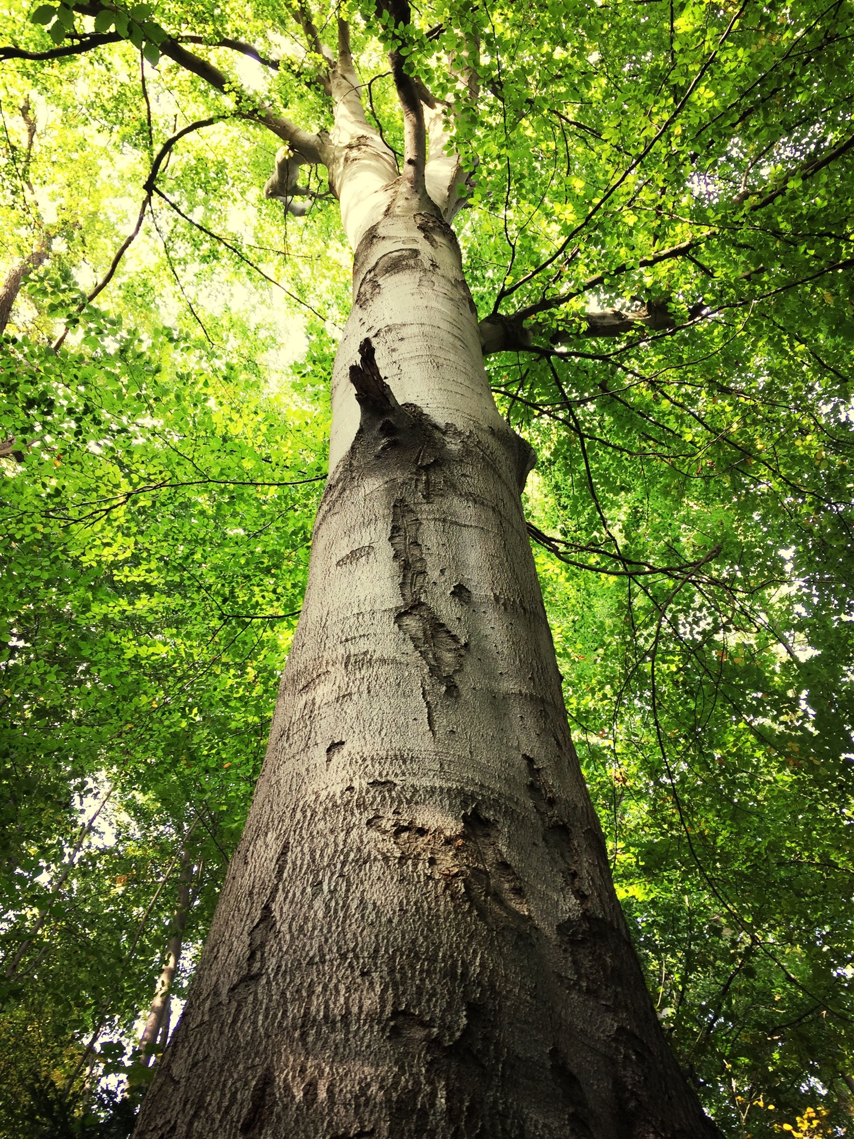 tree, tree trunk, branch, low angle view, growth, forest, nature, green color, tranquility, bark, beauty in nature, day, outdoors, wood - material, no people, sunlight, leaf, textured, green, woodland