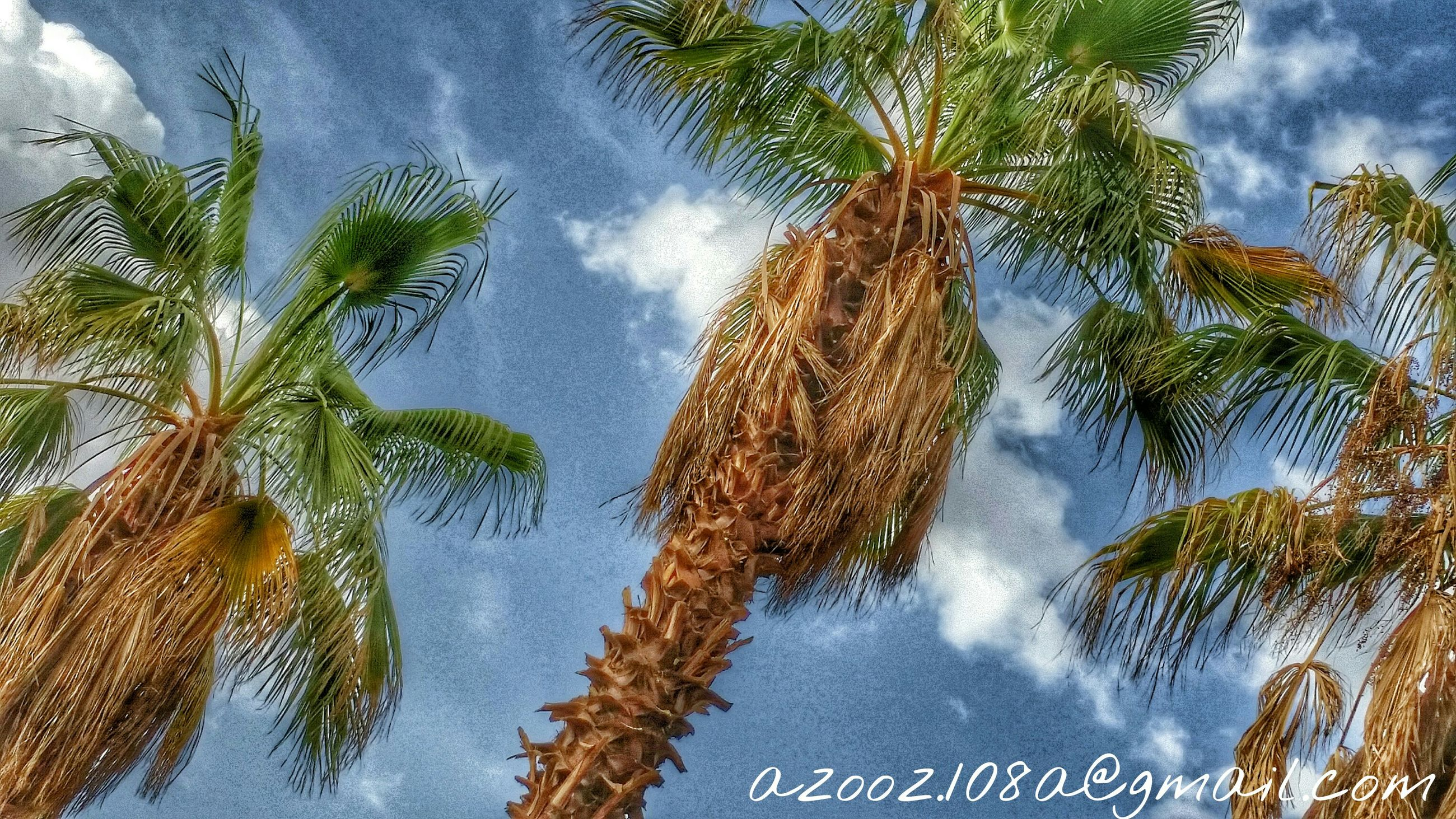 tree, sky, palm tree, low angle view, cloud - sky, growth, nature, tranquility, beauty in nature, cloudy, cloud, day, branch, scenics, leaf, tree trunk, outdoors, tall - high, tranquil scene, no people