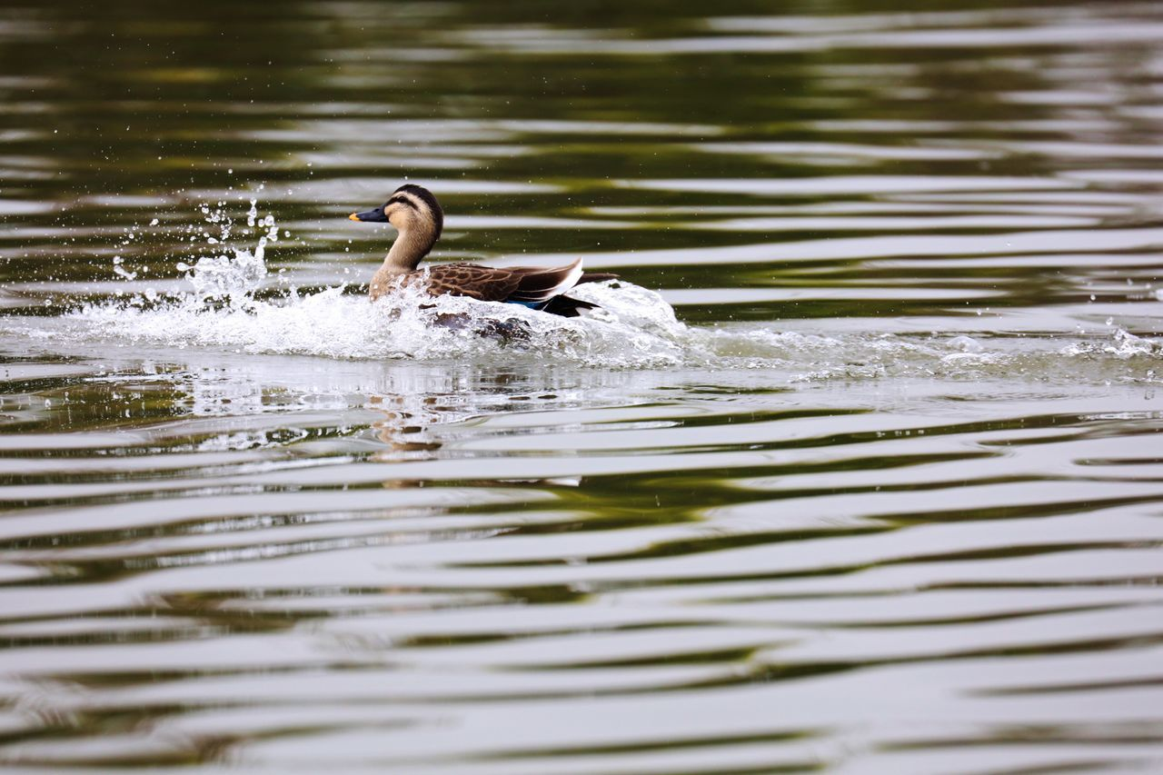 water, animal themes, one animal, animals in the wild, waterfront, bird, lake, swimming, rippled, animal wildlife, duck, nature, outdoors, day, motion, water bird, no people, beauty in nature, close-up