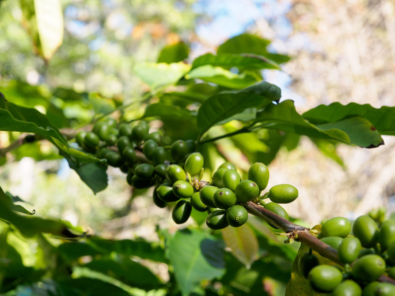 Green coffee beans Beans Coffee Coffee Beans Drink Fruit Green Green Color Growth Leaf Nature Organic Plant Shrub