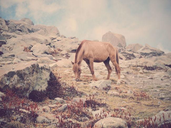 The KIOMI Collection Wilderness Kashmir India Wild Horse At The Peak Mesmerized Nature