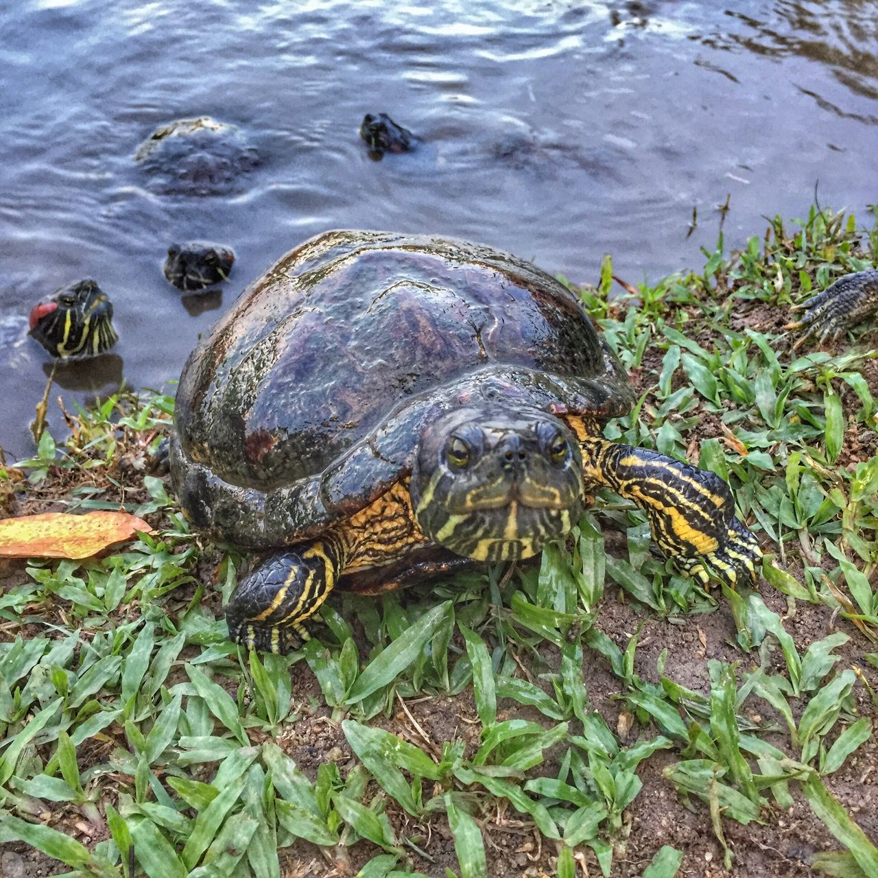 are you looking for trouble? Reptile Animal Themes Turtle Animals In The Wild Tortoise Shell Water High Angle View Tortoise Animal Wildlife Outdoors Nature Sea Turtle No People Day Beauty In Nature Sea Life