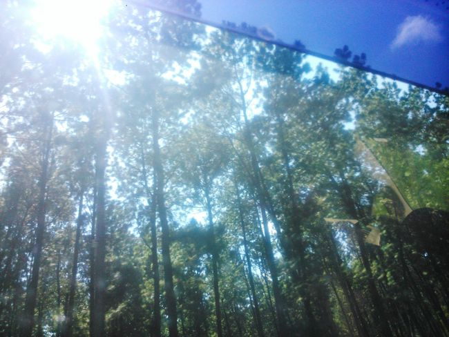Pinus forest Start A Trip Forest Trees Traveller Walking Around Camping