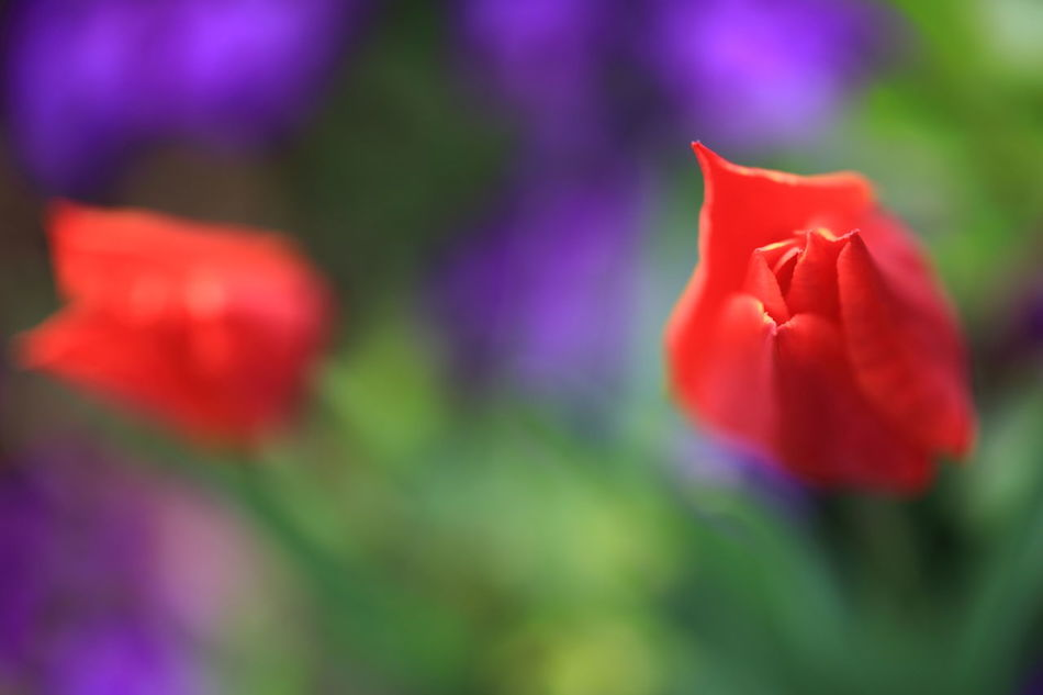 Abstract Art Abstractions In Colors Blooming Close-up Flower Flower Head Fragility Freshness Growth Impressionism Macro Painting With A Camera Painting With Light Petal Red Striving For Excellence Tulip