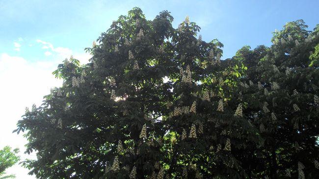 Flower Trees Nature Chestnut