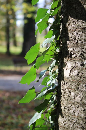 Green leaves on a vertical tree trunk Beauty In Nature Close-up Day Focus On Foreground Green Color Green Leaves☘️ Nature No People Tree Trunk