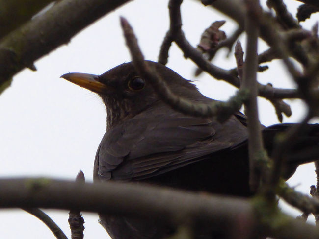 Zoom ♡ Blackbird In Tree Amsel Close Up PhotographyTranquil Scene Low Angle View For My Friends 😍😘🎁 Enjoying The Moment Enjoy The Little Things Beautiful Nature Cold Outside Bad Weather Good Mood Beauty In Nature Looking Up😍 Animal Wildlife Animals In The Wild Amsel Im Baum