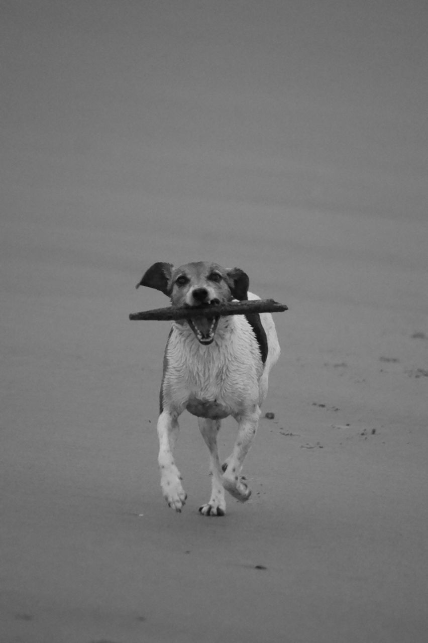 dog, pets, domestic animals, mammal, one animal, animal themes, copy space, standing, sand, beach, full length, nature, no people, looking at camera, outdoors, day, portrait, close-up
