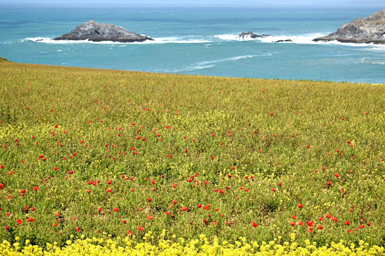 West Pentire Scenics Tranquility Outdoors Flower Grass Red Travel Destinations Crantock Poppy Fields Goose Rock Coastal Views poppies by the sea Field Of Poppies Looking Over To Goose Rock Newquay Cornwall