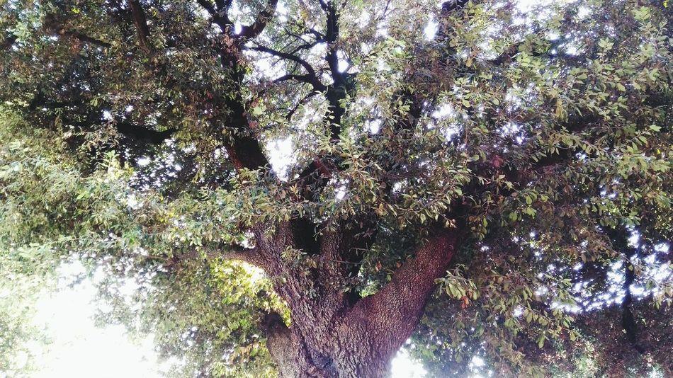 Leccio Rami Ramification Outdoors Tree