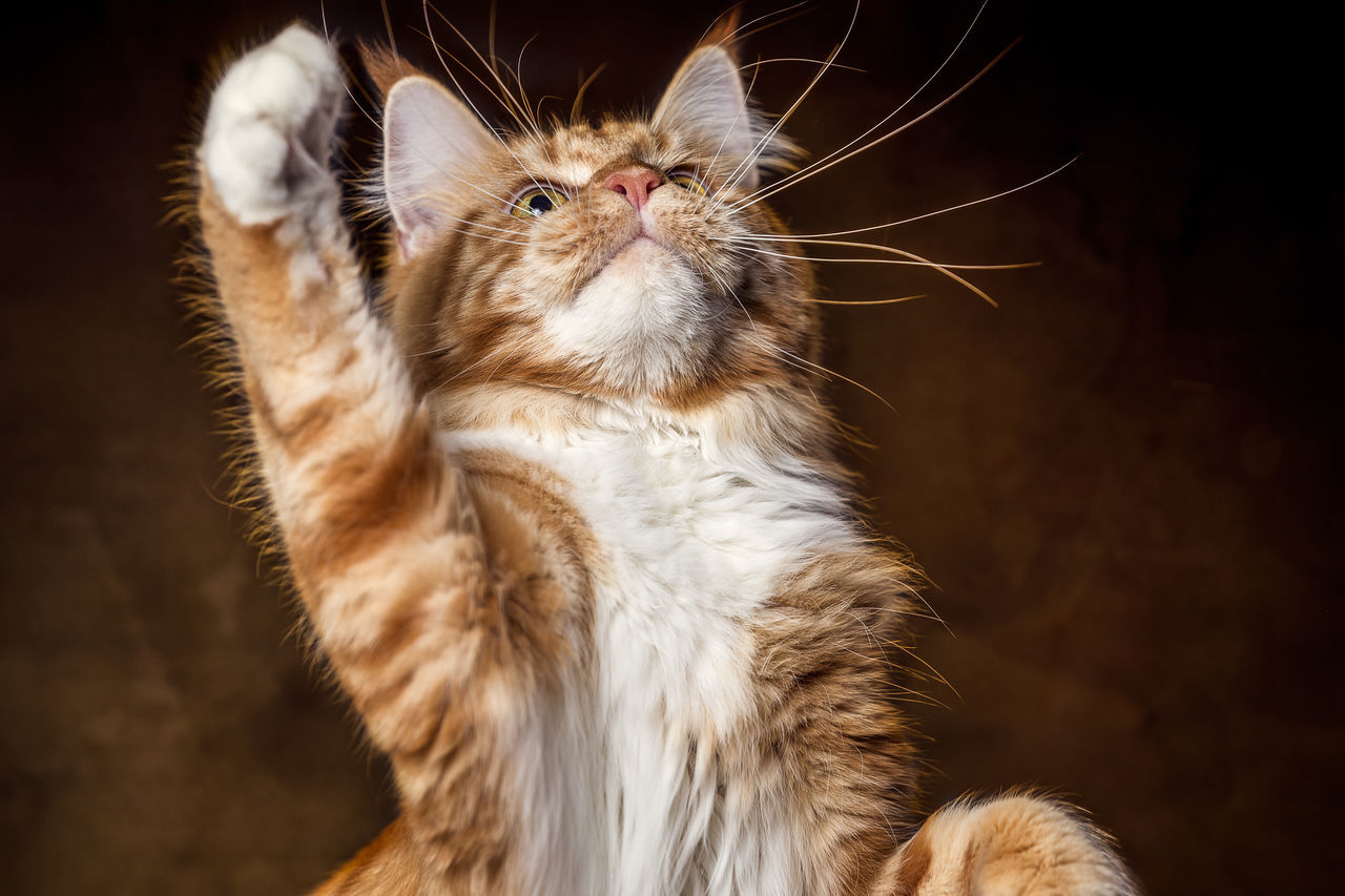 Female Maine Coon Cat Animal Themes Close-up Day Domestic Animals Domestic Cat Feline Indoors  Mammal No People One Animal Pets Whisker