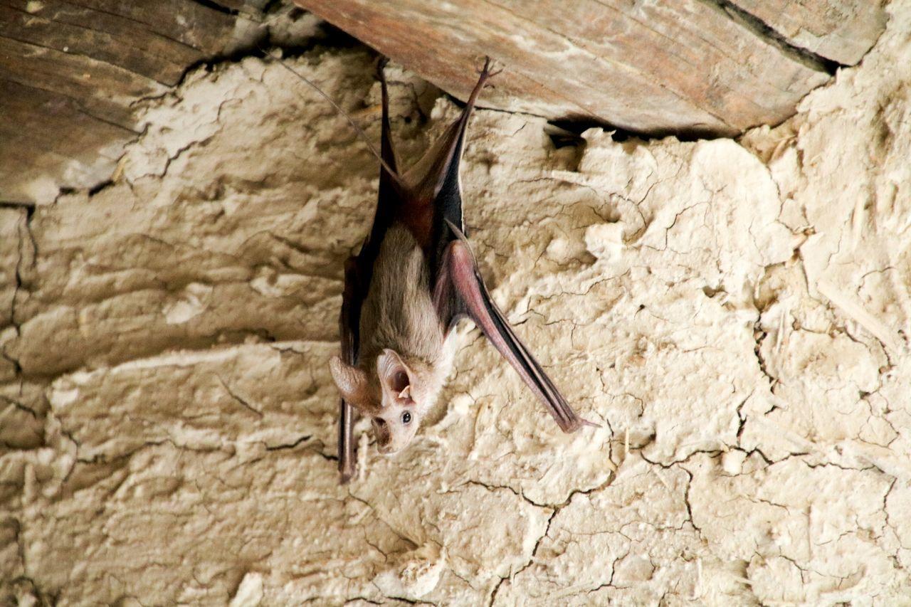 Bat in Bahla old castle Oman Bat Wildlife Nature
