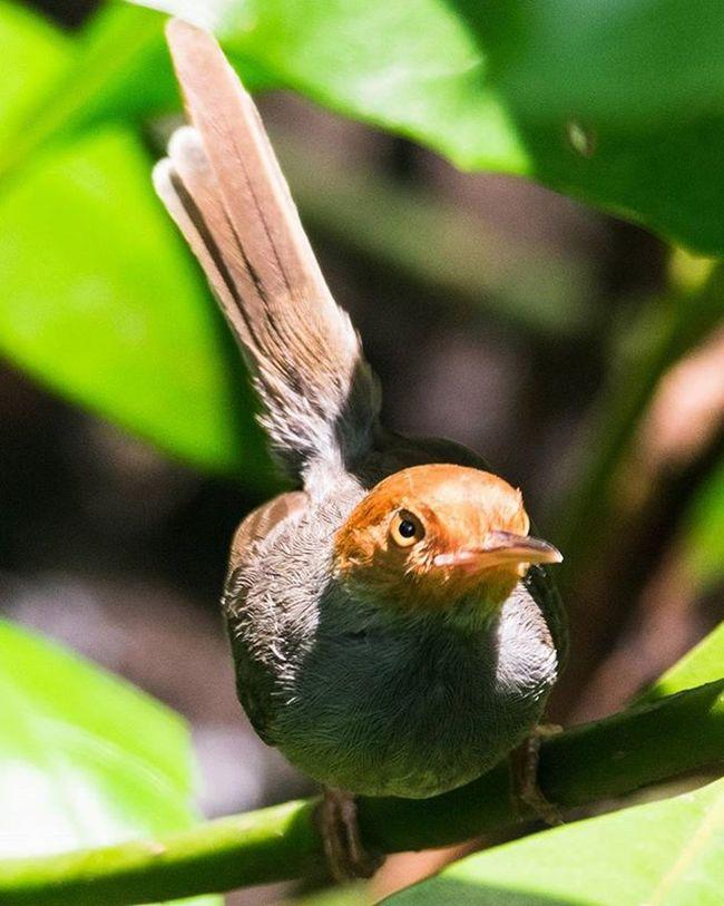 A rather gangsta looking ashy tailorbird Sungeibuloh Sungeibulohwetlandreserve Ashytailorbird Singapore Birds Birdsofinstagram Ig_birdwatchers @yesgram