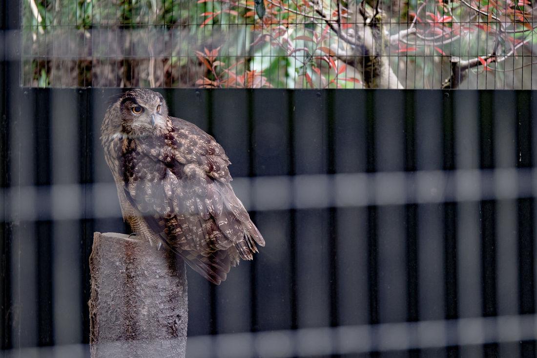 Animal Themes Bird Branch Bubo Bubo Close-up Day Eurasian Eagle Owl  No People One Animal Owl Treatment