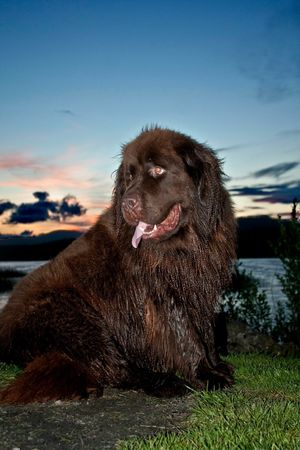 Newfoundland Subject Wet Dog Cute Water Loch  Lake Sunset Flash Gun Fill In Flash Newfoundland Big Dog Dog Pets One Animal Domestic Animals Mammal Animal Themes Sky Animal Tongue Outdoors No People Grass