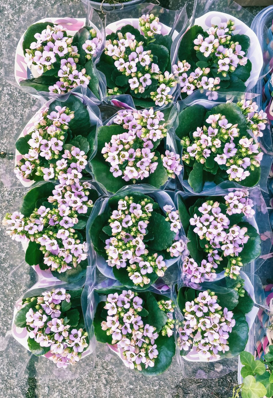Flowers on the Pavement Flower High Angle View Flying High Nature Growth Plant Freshness Green Color No People Outdoors Day Fragility Close-up Flower Head Kalanchoe Florist Display Flower Market