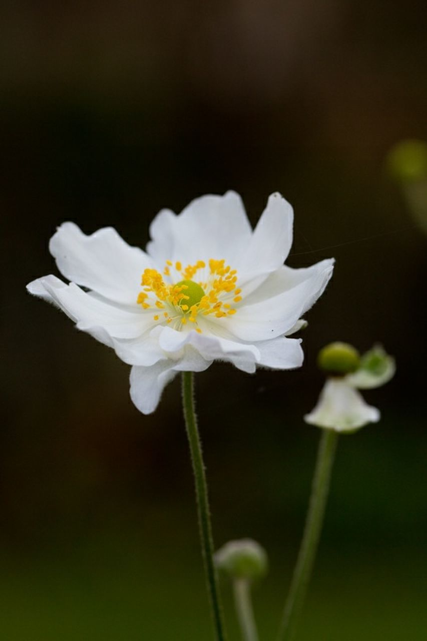 flower, fragility, petal, growth, nature, white color, flower head, freshness, plant, beauty in nature, close-up, blooming, no people, day, outdoors