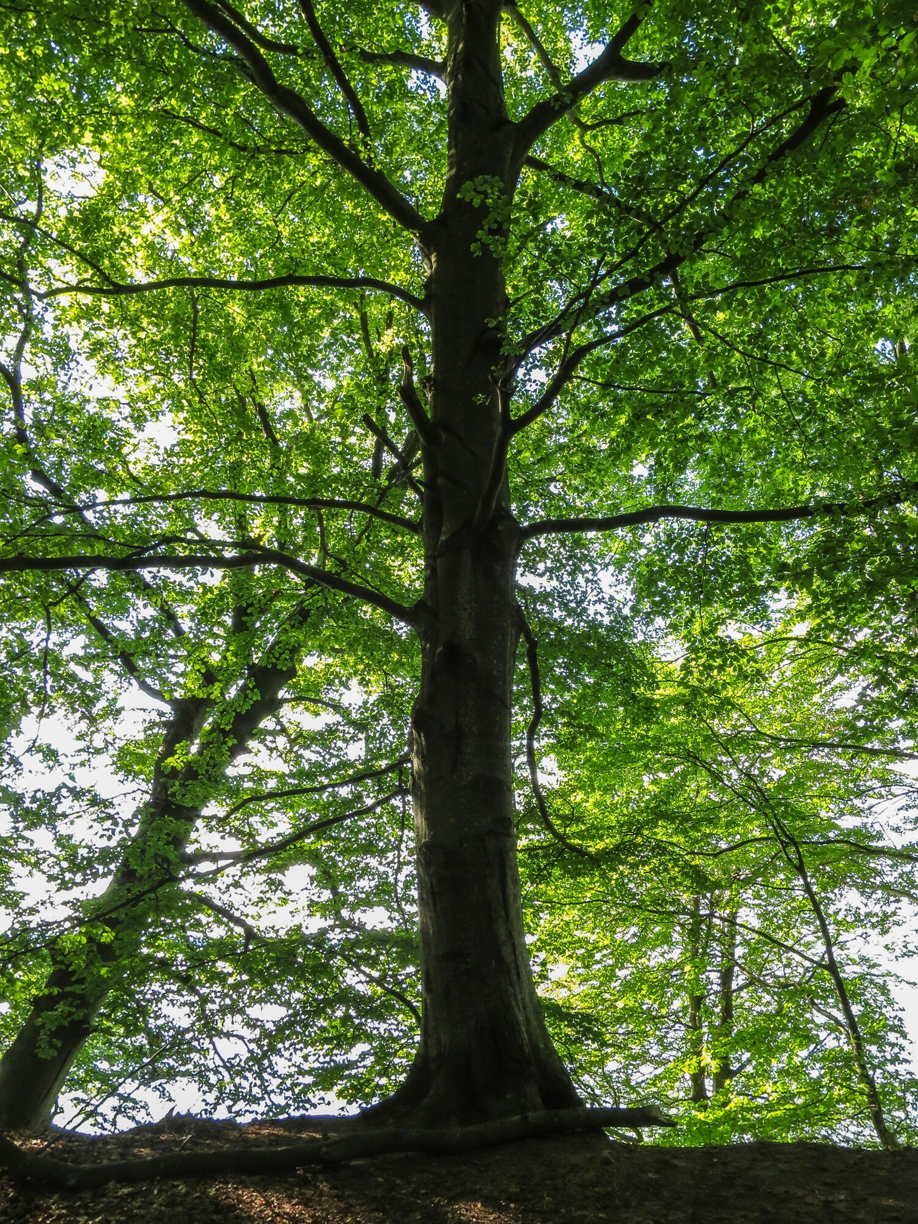 tree, growth, forest, green color, branch, tree trunk, tranquility, nature, beauty in nature, low angle view, lush foliage, woodland, tranquil scene, scenics, green, day, outdoors, no people, sunlight, leaf