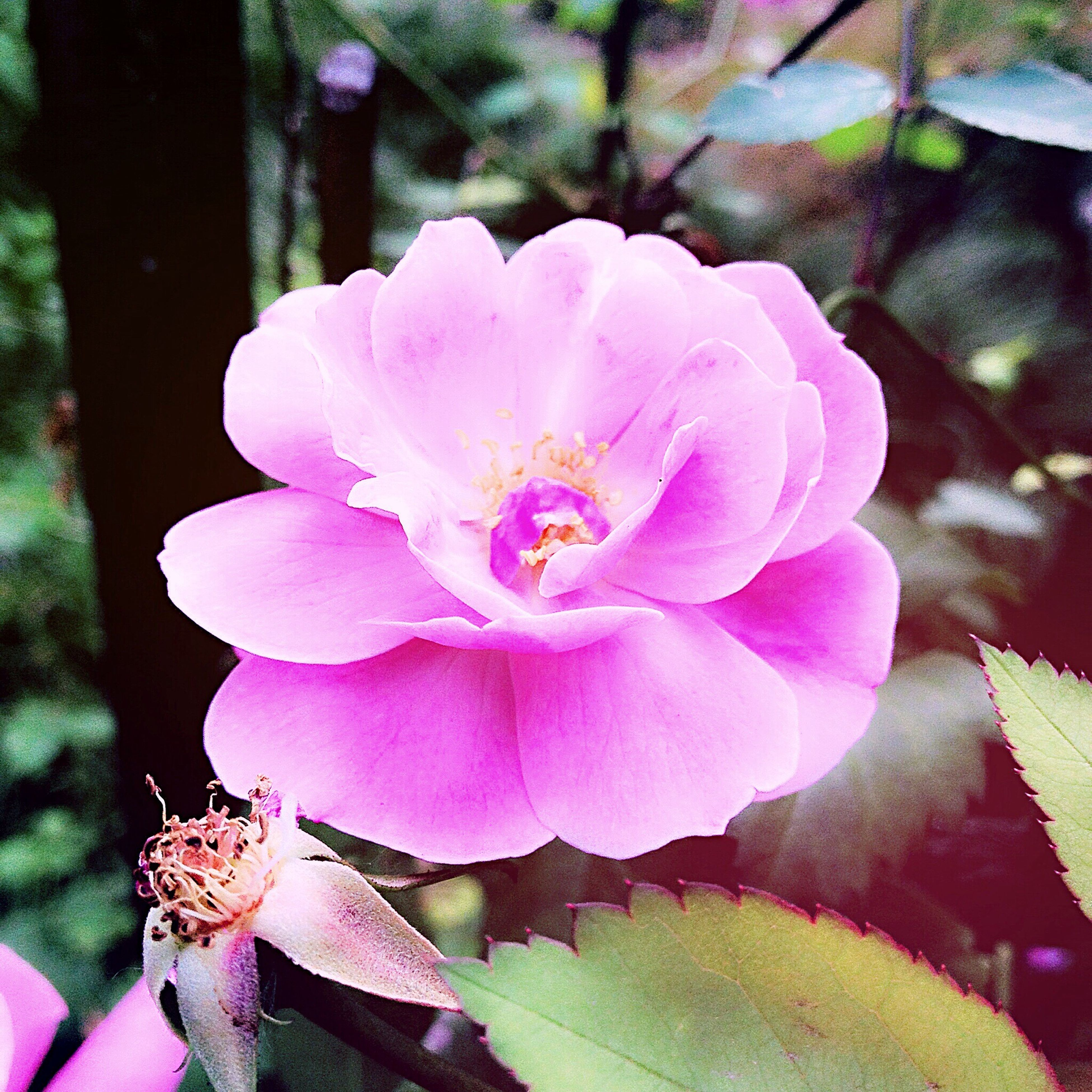 flower, petal, fragility, freshness, growth, flower head, pink color, close-up, beauty in nature, nature, blooming, focus on foreground, single flower, plant, in bloom, blossom, leaf, outdoors, day, park - man made space