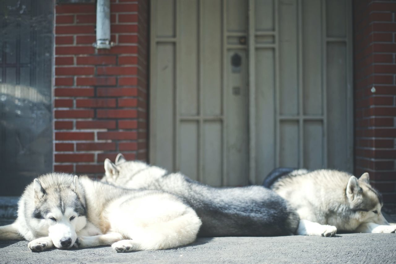 Animal Themes Relaxation Pets Domestic Animals Dog Resting Enjoying The Sun Husky Pets Corner Sleeping Dog Mammal Low Angle View Take A Break Day Outdoors