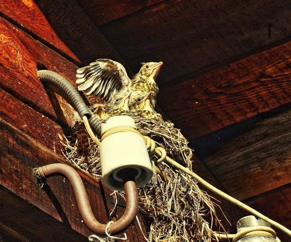 птенец дрозды гнездо птицы