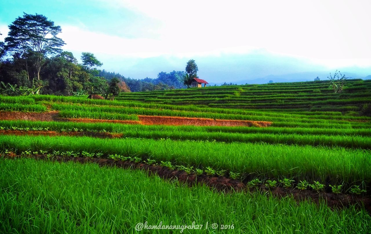 agriculture, field, landscape, growth, farm, nature, green color, beauty in nature, crop, rural scene, rice paddy, scenics, tranquility, tranquil scene, outdoors, sky, day, rice - cereal plant, no people, grass, tree, terraced field, mountain, tea crop