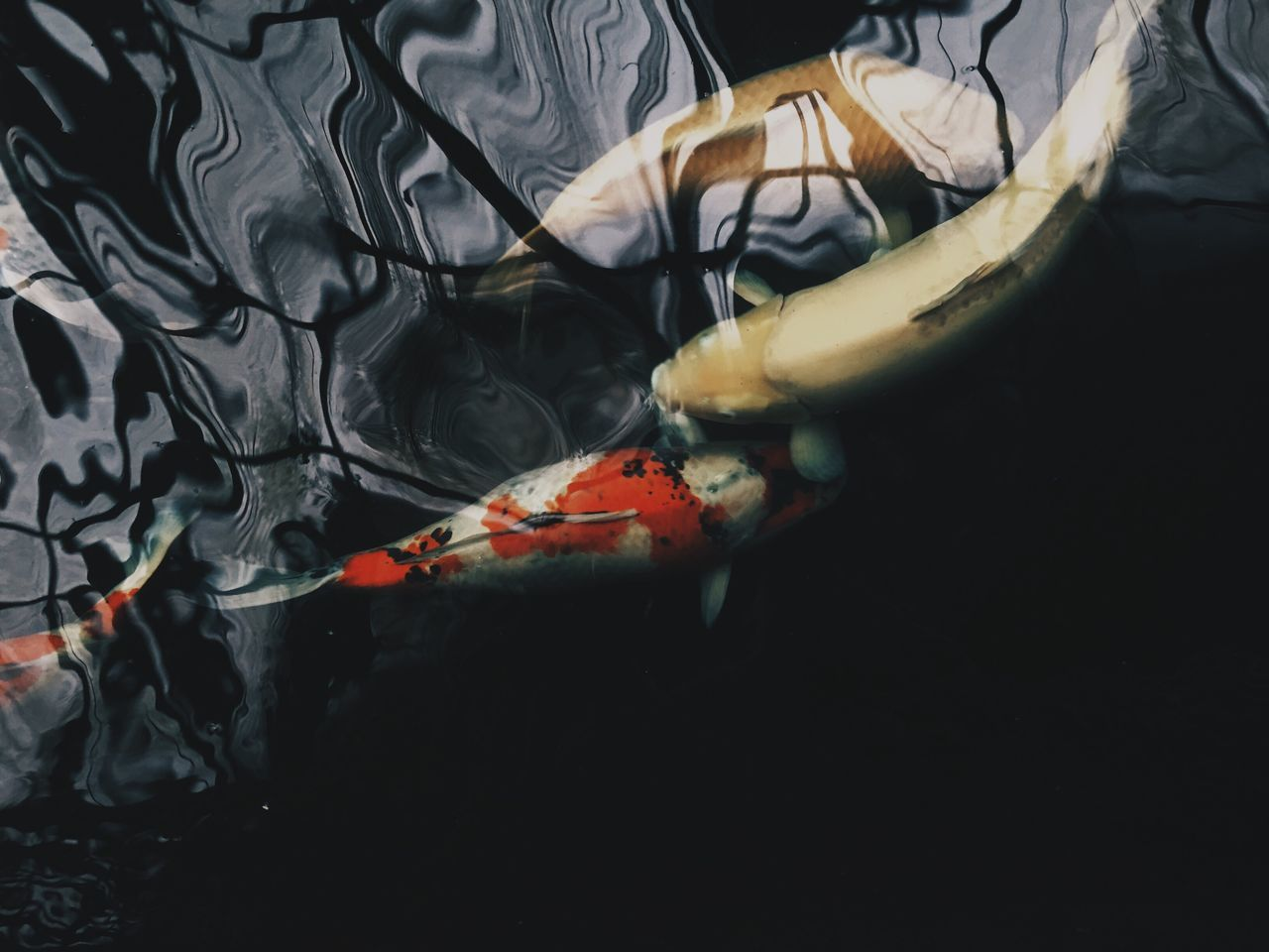 Koi Koi Fish No People Water Sea Life Japanese Fish Pet Photography  Iphoneonly IPhoneography Pets Corner Nature