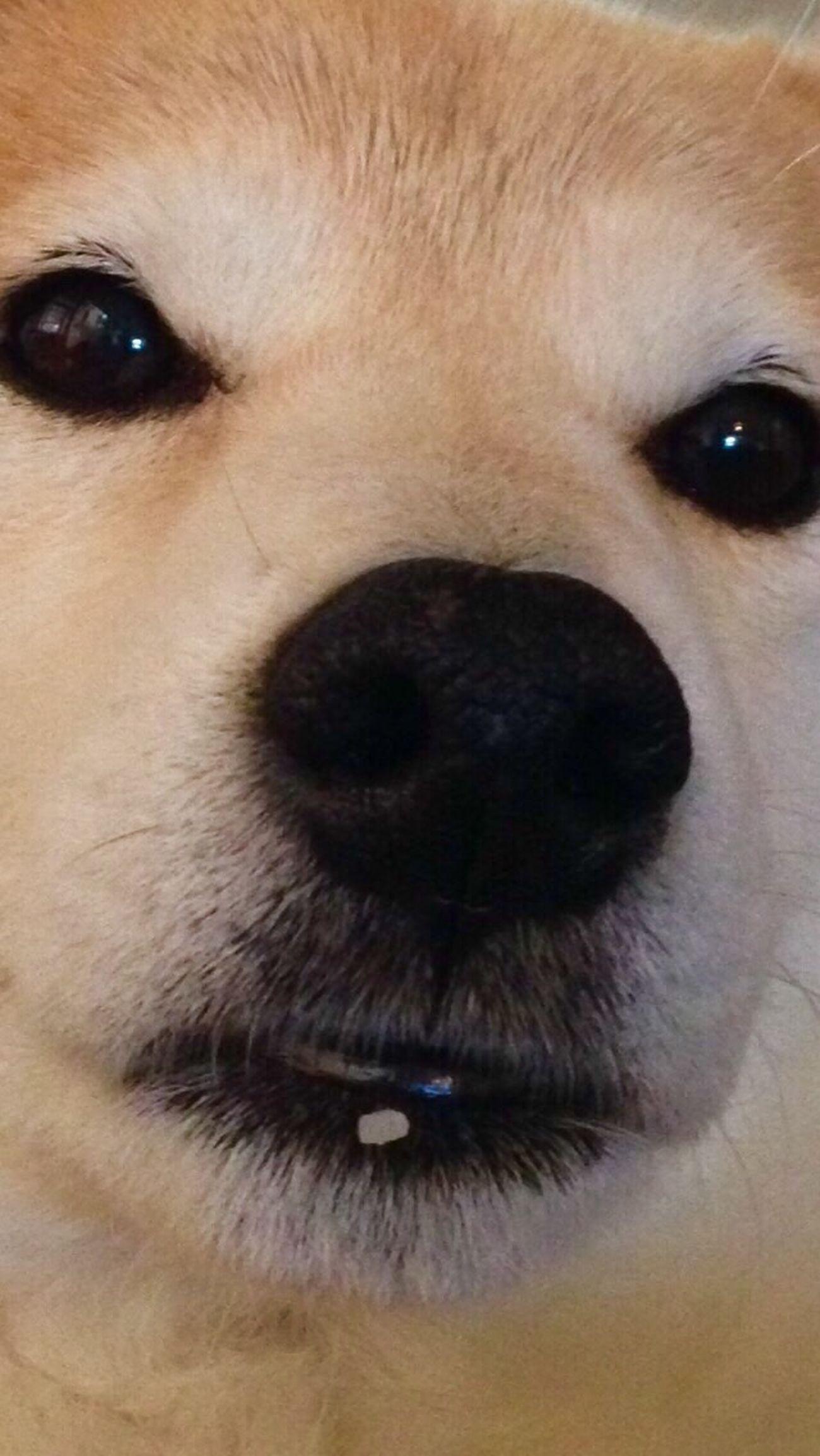 それが証拠だ…。食ったんだろ? Dog Pets Shiba Inu LOVE Shiba Inu