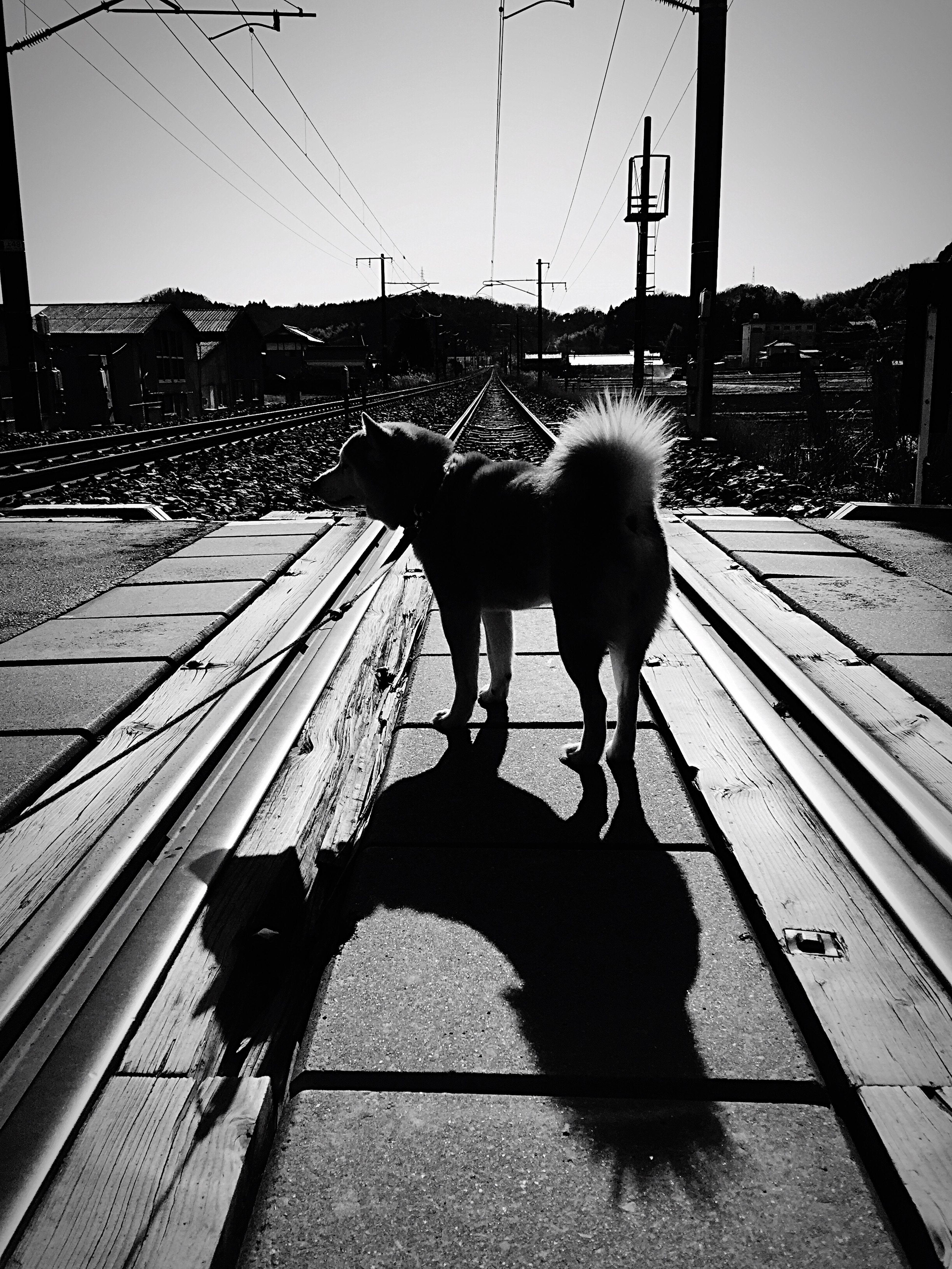 Shiba Inu Harunosuke Dog