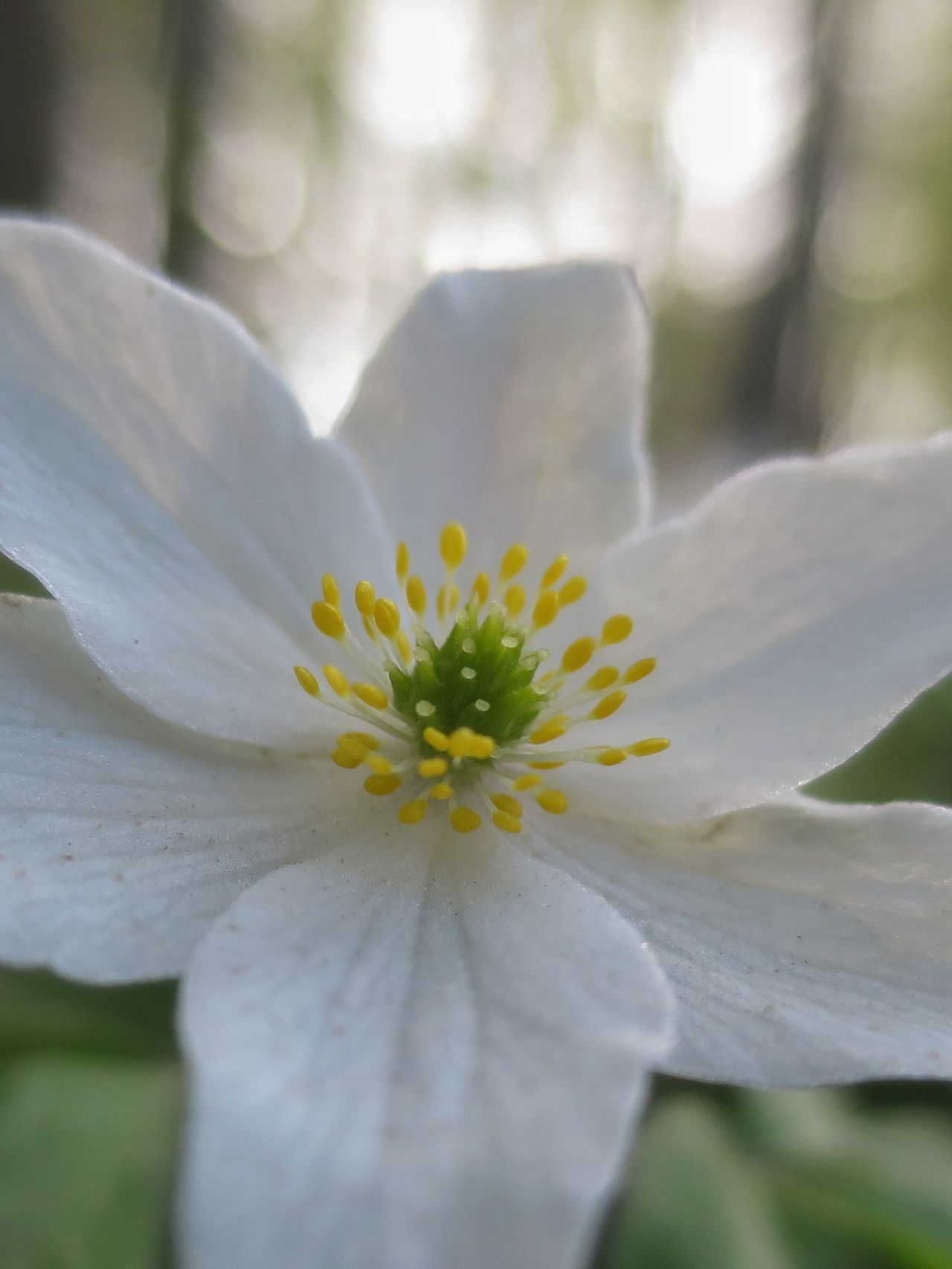 Wood Anemone Forest Spring Spring Flowers Close Up Cycling Outdoors Commuting