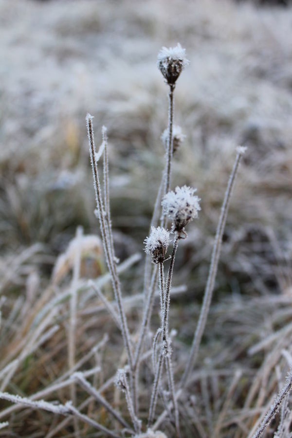 Nature Winter Growth Field Plant Cold Temperature Focus On Foreground Beauty In Nature Outdoors No People Snow Day Tranquility Fragility Close-up Photography Of Me Eos1300d