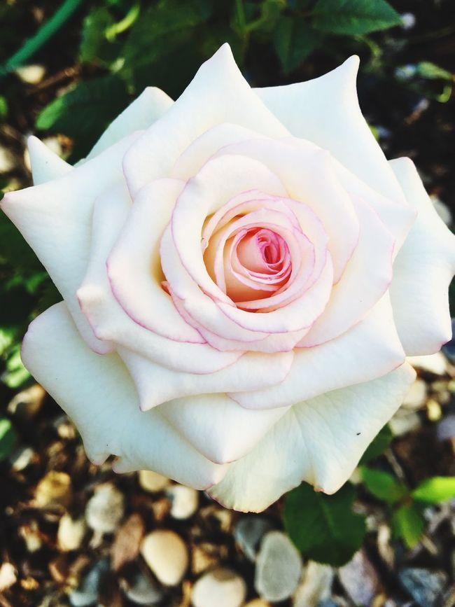 'Moonstone' glorious this morning EyeEm Gallery Flowers,Plants & Garden EyeEm Nature Lover EyeEmBestPics EyeEm Flower Eyeemroses Flowers Eyeemlandscape Roses Eyeemflowercollection