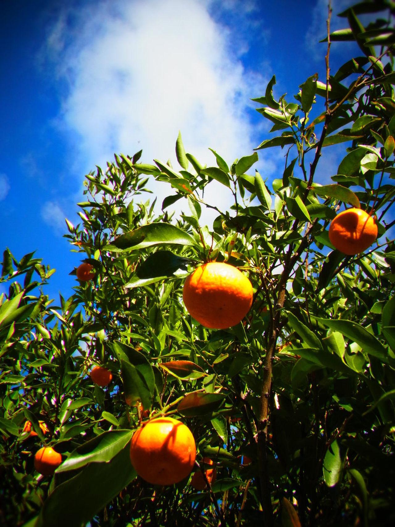 Australia Fruit Nature Orange Sky Tree