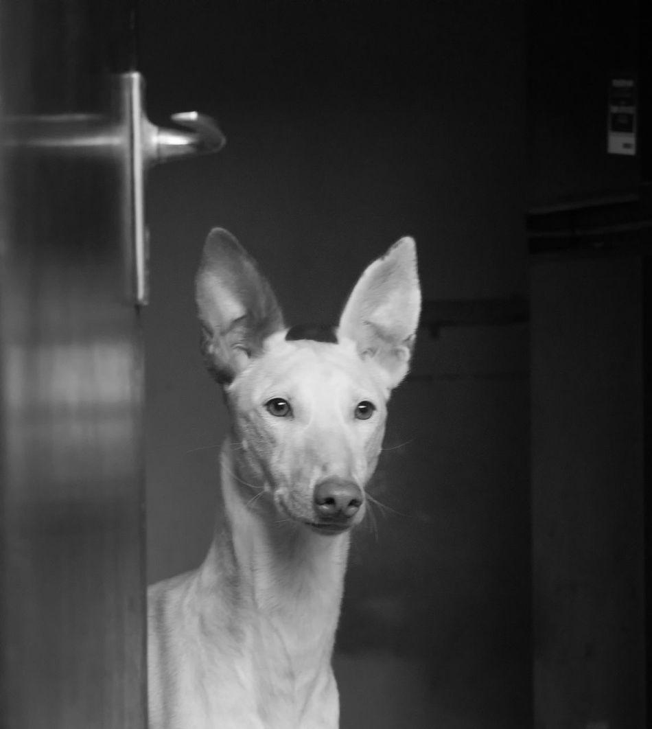 Animal Themes Close-up Day Dog Domestic Animals Ibizan Hound Indoors  Looking At Camera Mammal No People One Animal Pets Podenco Ibicenco Portrait