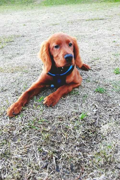 Dog Pets One Animal Domestic Animals Portrait Outdoors Love Puerto Madero, Argentina Buenos Aires, Argentina  Friendship DASTAN Irish Setter Setter Irlandes Setter Irishsetterpuppy Irishsettersofinstagram Irishsetter Puppy Puppy Love