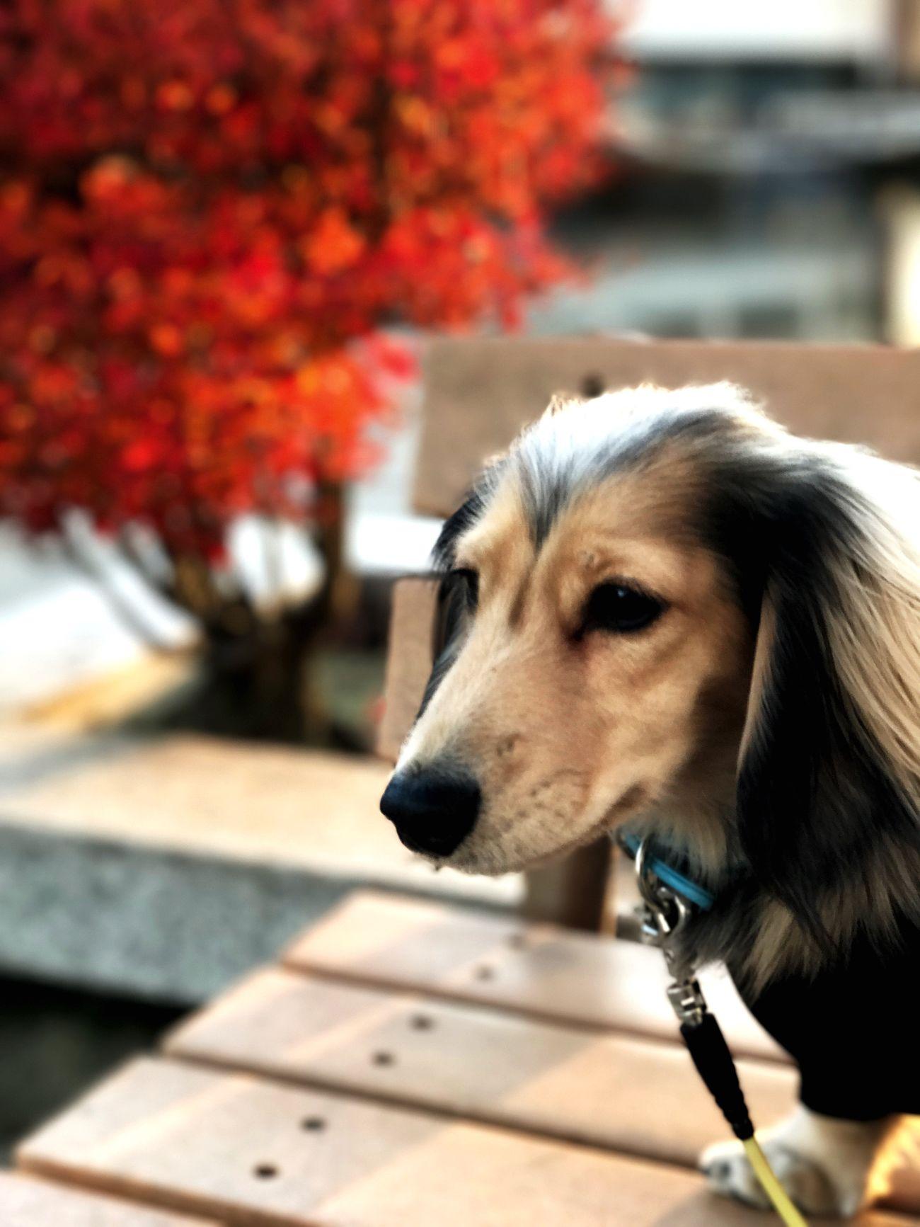 Pets Dog Close-up Outdoors IPhone7Plus Autumn